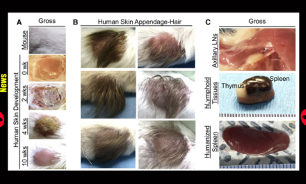 "Scientists Use Scalps From Aborted Babies to Create ""Humanized Mice"" for Research"